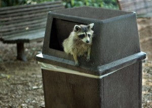 1024px-Raccoon_getting_in_trouble