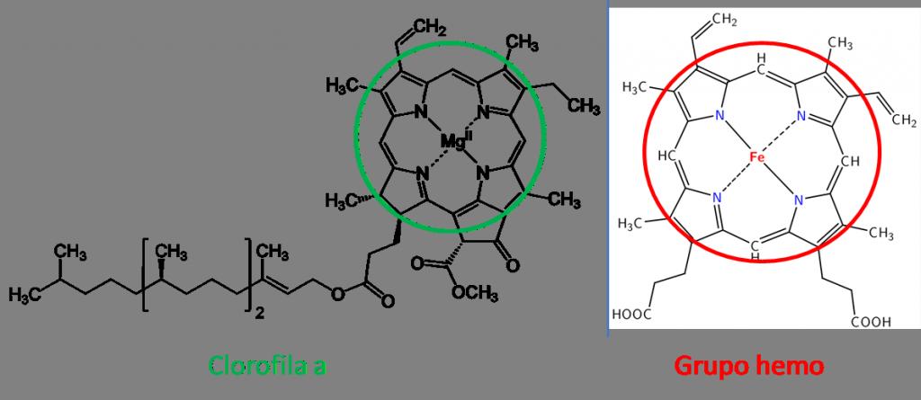 Clorofila y hemo
