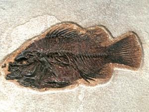 Priscacara, un tipo de perca del Eoceno medio.