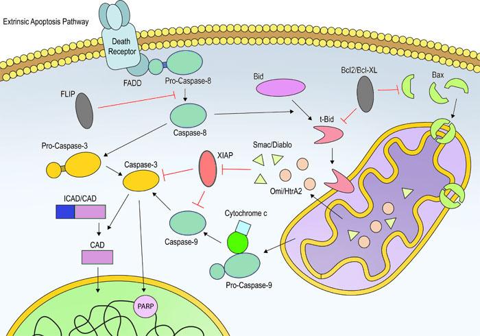 Esquema de la apoptosis