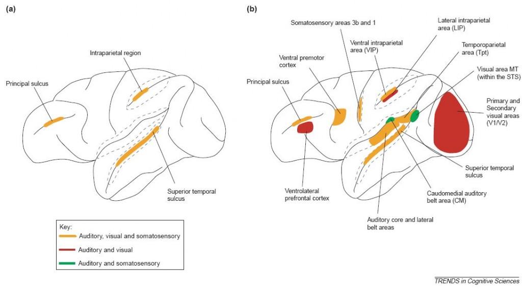 Esquema anatomía cortical