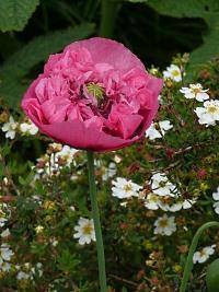 Flor de la adormidera o planta del opio. Imagen de la Wikipedia.
