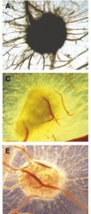 Embriones de pollo
