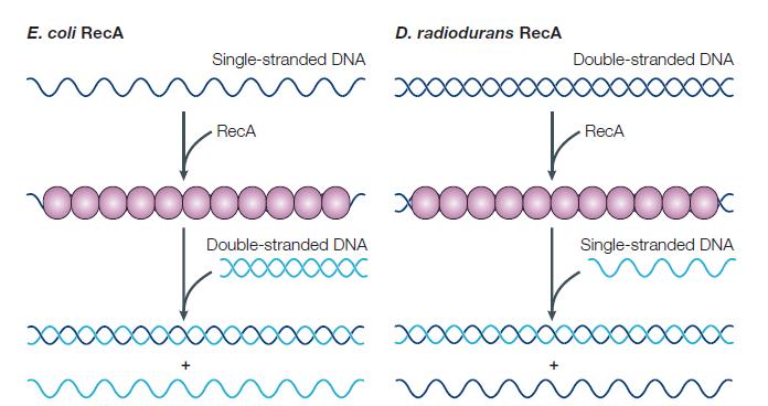 Comparación entre los mecanismos RecA de E. coli y D. radiodurans. Sacado de la fuente c